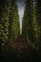 Field of hops, Serbia