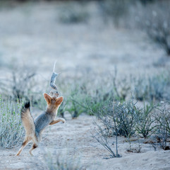 Cape fox playing with a dead rat, Kgalagadi Transfrontier Park, South Africa
