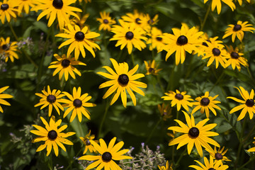 Printed kitchen splashbacks Sunflower Beautiful Flowers Growing And Blooming In A City Park's Flower Garden.