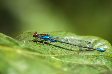 Closeup of a small red-eyed damselfly Erythromma viridulum perched in a forest