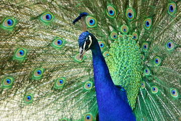 Bright colorful blue and green peacock with crest and raised tail showing feathers, displaying, close up image