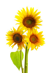 Beautiful bright yellow sunflowers on white background