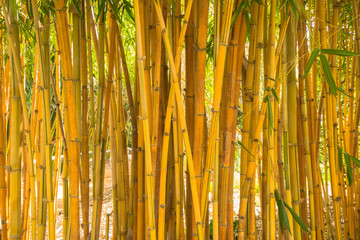 Yellow Japanese Bamboo