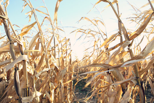 Dried corn stalks in a corn maze