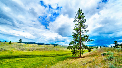 Dark Clouds hanging over Lodgepole Pine trees on the rolling hills in a dry region of the Okanagen along Highway 5A between Kamloops and Merritt in British Columbia, Canada