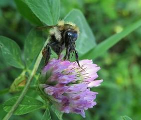 Bumblebee on a clover flower