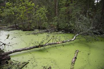 the natural background - forest bog