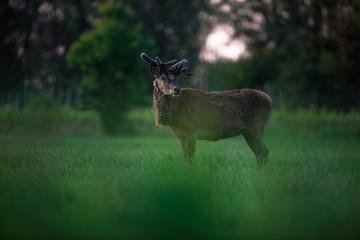 Red deer stag with growing antler in meadow at dusk.