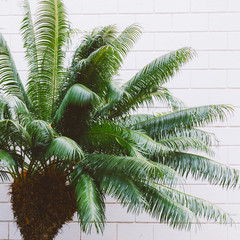 Plants on wall concept. Minimal fashion. Canary Palm