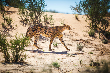 A cheetah walks in the Kgalagadi transfrontier park on the way to find a meal, South Africa.
