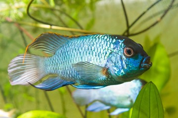 Nannacara anomala neon blue, dominant male cichlid side view, freshwater fish, natural aquarium, closeup nature photo