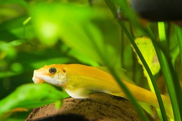 Gyrinocheilus orange, freshwater fish, dominant female, biotope aquarium, closeup nature photo