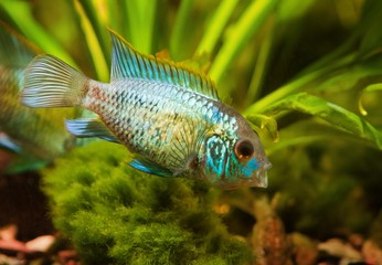 Nannacara anomala neon blue, juvenile cichlid side view, freshwater fish, natural aquarium, closeup nature photo