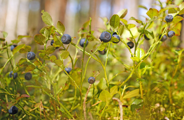 Wild blueberry on green bushes in pine summer sunny forest in Belarus