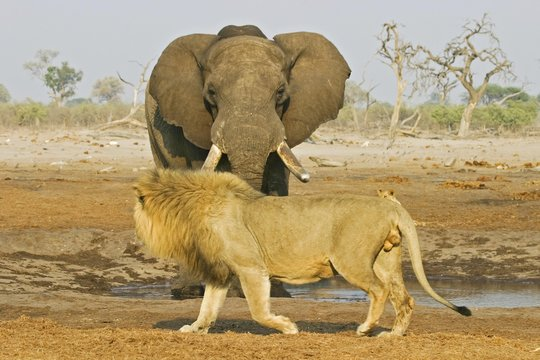 Meeting at a waterhole, Male lion (Panthera leo) with african elephant (Loxodonta africana), Savuti, Chobe Nationalpark, Botswana, Africa
