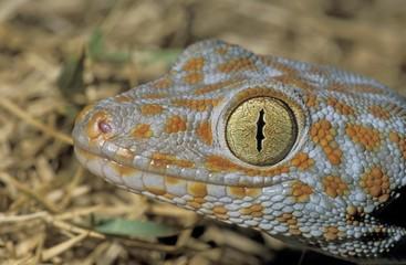 Tokay gecko (Gekko gecko), Khao Sok, Thailand, Southeast Asia, Asia