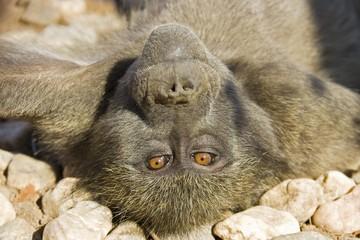 Yellow Baboon (Papio cynocephalus) laying on its back on rocks, Namibia, Africa