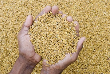 Open hands filled with rice, Koh Kong Province, Cambodia, Asia