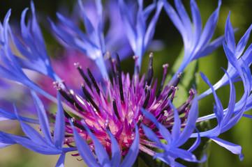 Flower of Mountain cornflower, Mountain bluet, Centaurea montana
