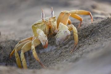 Ghost Crab (Ocypode), Berenice, Egypt, Africa