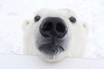 Polar bear (Ursus maritimus) looking over the railing of a Tundra Buggy, Churchill, Manitoba, Canada, North America