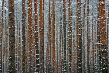 Monotony of a snow covered pine tree forest in winter