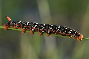 Spurge Hawk-moth (Hyles euphorbiae) caterpillar
