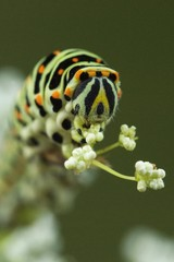 Old World or Common Yellow Swallowtail (Papilio machaon) caterpillar