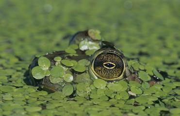 Bullfrog (Rana catesbeiana), adult in duckweed camouflaged, Sinton, Coastal Bend, Texas, USA, North America