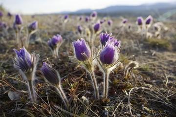 Blooming Pulsatilla (Anemone patens), Northern Crocus, Prairie Crocus, Prairie Smoke, Pasque Flower, back lit, spring, Yukon Territory, Canada, North America