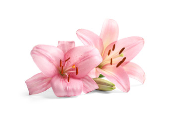 Beautiful blooming lily flowers on white background