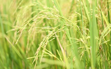 Rice field closeup blur nature landscape background