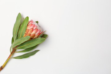 Beautiful protea flower on white background. Tropical plant
