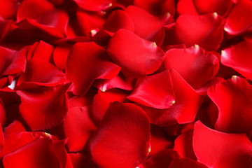 Beautiful red rose petals as background, closeup