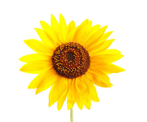 Beautiful bright yellow sunflower on white background