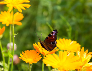 butterfly on bright yellow flower on green background