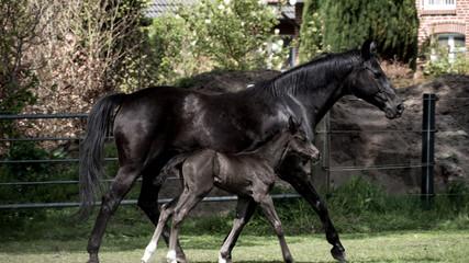 Schwarzes Pferd mit Fohlen auf der grünen Wiese