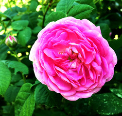 The colorful photo shows blooming flower rose