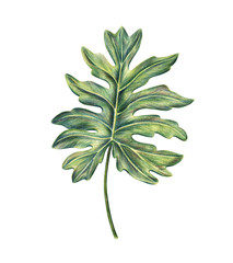 Exotic tropical leaf of monstera, philodendron palm, hand-drawn with colored pencils, raster illustration isolated on white background. Hand drawing of monstera palm leaf, botanical illustration