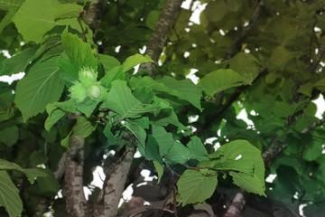 Walnut hazelnut background of green leaves.