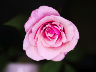 Beautiful pink rose flower for give someone in valentine day