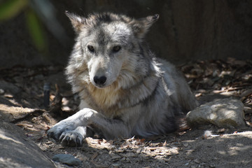 Mottled White, Brown and Gray Fur on a Tundra Wolf