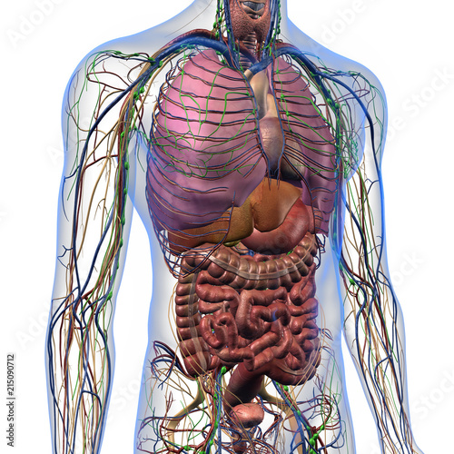 Male internal anatomy of chest and abdominal area on white male internal anatomy of chest and abdominal area on white background ccuart Choice Image