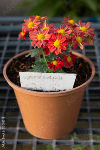 Colorful Daisy Or Chamomile Flowers With Yellow Pollen In Flowerpot