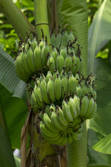 Cultivated banana in the garden.