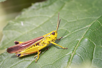 grasshopper in nature, sitting on a green leaf