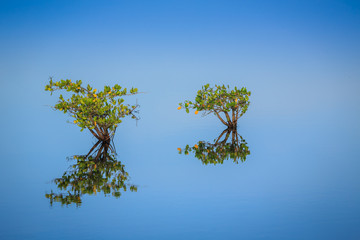 Landscape of two solitary mangrove trees beginning to grow.CR2