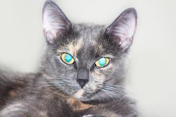 Grey blue eyed cat