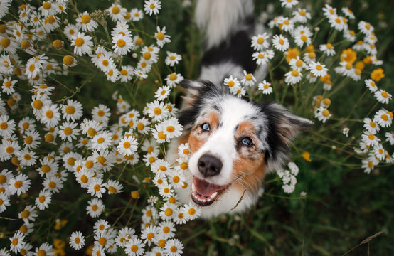 A happy dog in flowers. The pet is smiling. Field Camomiles. The Astralian Shepherd Tricolor