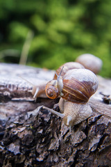 The Roman snail (Helix pomatia) on a tree